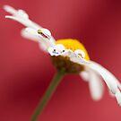 Daisy  by Melinda Gaal