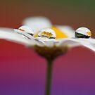 Daisy fantasy I by Melinda Gaal