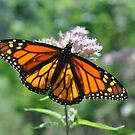 Monarch by Jill Vadala