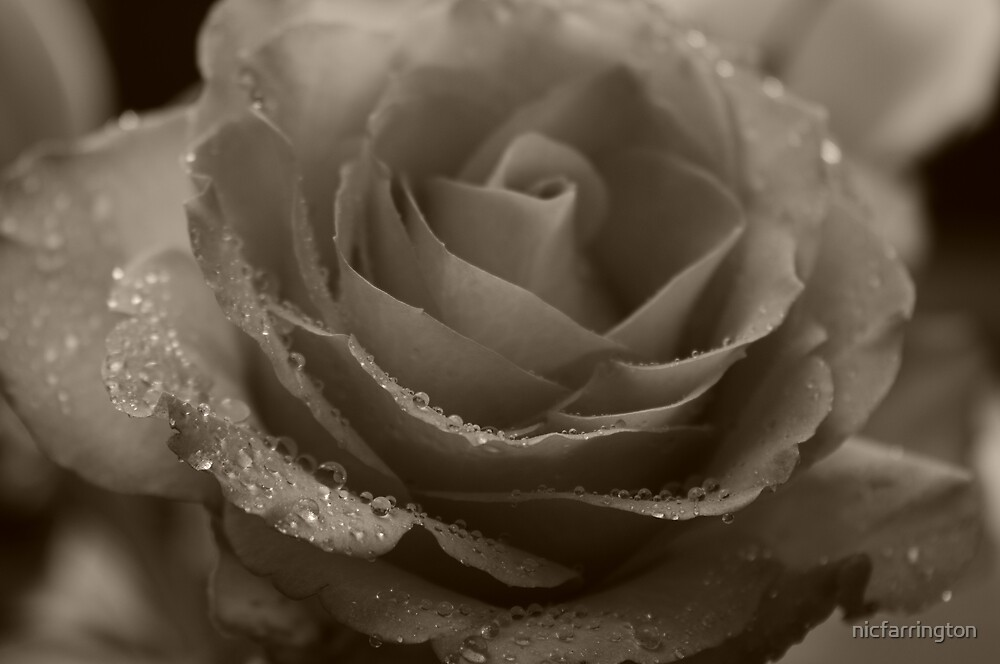 Mono Rose by nicfarrington