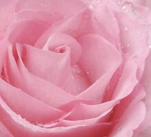 Muted Rose by nicfarrington