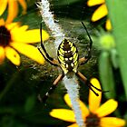 Golden Garden Spider by Virginian Photography (Judy)
