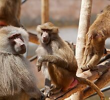 Three Hamadryas baboons in Paignton zoo, Devon. by Keith Larby