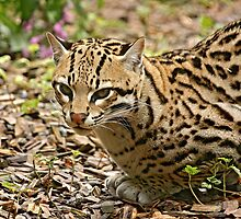 Little Big Wildcat! by Mark Hughes