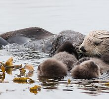 Adorable Sea Otter by wwwildlife