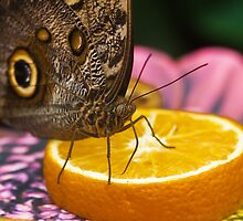 Giant Owl Butterfly, Caligo eurilochus,  by Elaine123