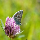 Common Blue Butterfly by Margaret S Sweeny