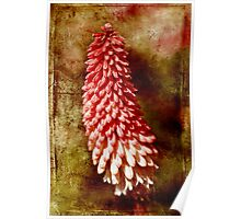 RED HOT POKER PLANT Poster