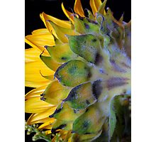 Sunflower, turns away! Photographic Print