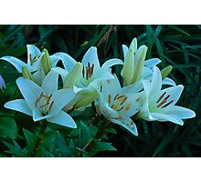 beautiful white lilies Photographic Print