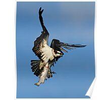 Osprey (Pandion haliaetus) Poster