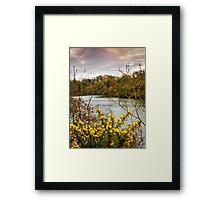 Yellow Gorse Framed Print