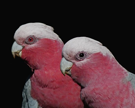 Mr and Mrs Galah by Lance Leopold