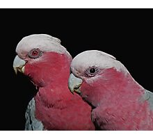 Mr and Mrs Galah Photographic Print