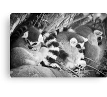 Ring Tails Canvas Print