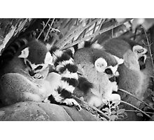 Ring Tails Photographic Print