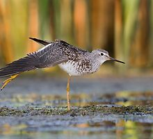 Lesser Yellowlegs Stretching. by Daniel Cadieux