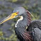 Tricolored heron showing its true colors ! by jozi1
