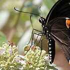 Swallowtail Sipping On Mountain Mint by NatureGreeting Cards ccwri