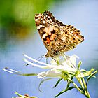 The Painted Lady  by Saija  Lehtonen