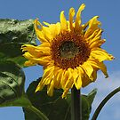 Sunflower by Carol Bleasdale