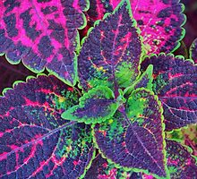 Coleus by James Brotherton
