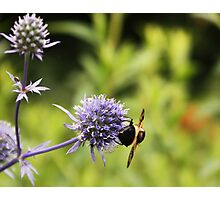 Bee hanging on to lunch! Photographic Print