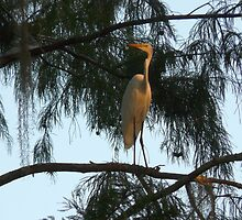 Egret on the roost  by Randell  Meeks