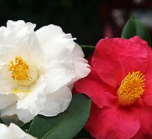 Camellias, White & Pink - Warragul,Gippsland by Bev Pascoe