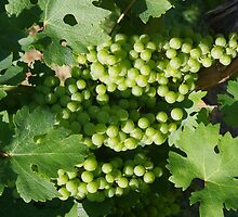 Vineyard grapes by shewolf459