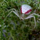Goldenrod Spider by Jim Cumming
