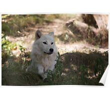 Arctic Wolf - Parc Omega Poster