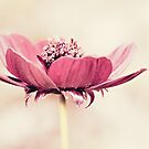 Cosmos by Anne Staub