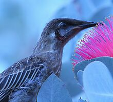 Honeyeater Amongst the Eucalyptus by Jill Fisher