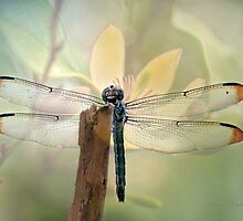 Dragonfly Dreams by Bonnie T.  Barry