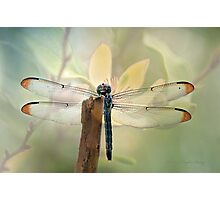 Dragonfly Dreams Photographic Print