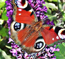butterfly on buddleia by lalik