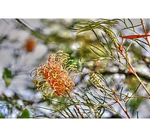 Bottle Brush Flower (2) Photographic Print