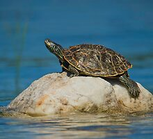 Northern Map Turtle by Daniel  Parent