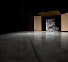 British Blue Cat in a Box by Keren Segev