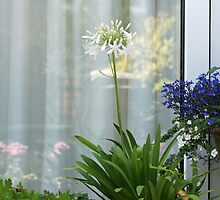 White Agapanthus by LorrieBee