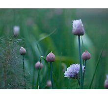 Onion Plant Photographic Print