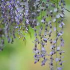 Wisteria by camerawoman1