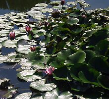 Waterlilies in the Sun - Sigurtà - Italy by sstarlightss