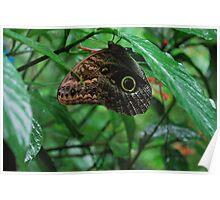 False Eye Butterfly (Costa Rica) Poster