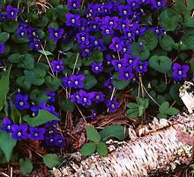 VIOLETS (Common Blue) by Chuck Wickham