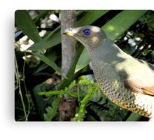 Bower bird #2 Canvas Print