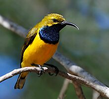 Yellow Bellied Sunbird - Ellis Beach, North Qld. by Alwyn Simple