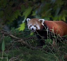 ...looking for my 'bamboo'dinner.... by John44