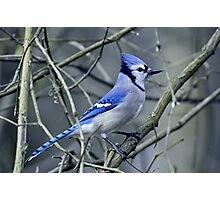 Blue Jay in the Brush Photographic Print